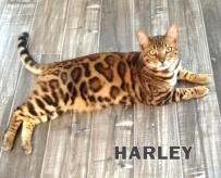 Gall.Harley